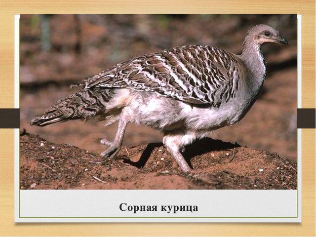 Сорная курица