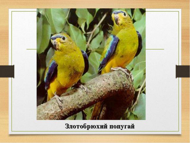 Злотобрюхий попугай
