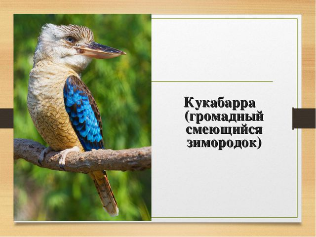 Кукабарра (громадный смеющийся зимородок)