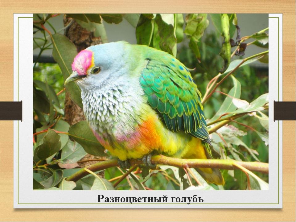 Разноцветный голубь