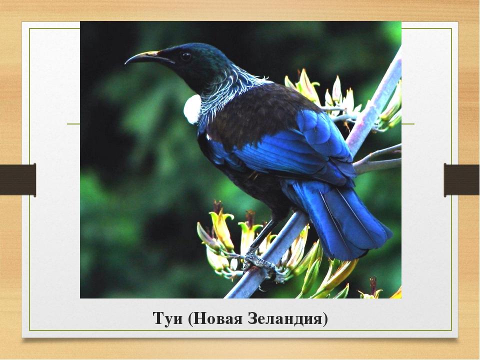 Туи (Новая Зеландия)