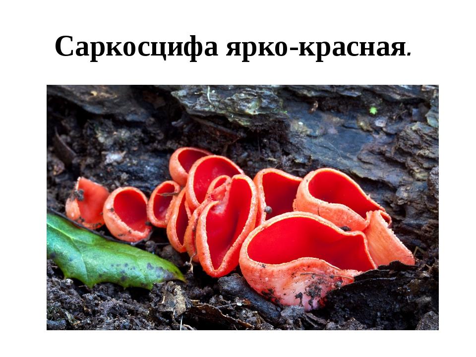 Саркосцифа ярко-красная.