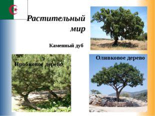 Растительный мир Оливковое дерево Пробковое дерево Каменный дуб
