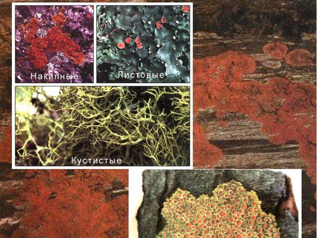 Лишайники могут быть усеяны «ягодками» и чешуйками