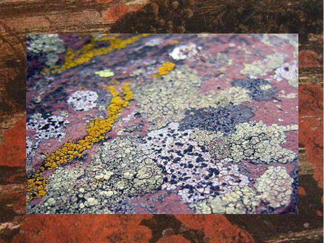 Лишайники бывают самого разного цвета Они окрашены в широком диапазоне цветов...
