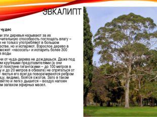 Дерево чудес Насосами эти деревья называют за их исключительную способность п