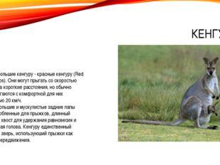 КЕНГУРУ Самые большие кенгуру - красные кенгуру (Red Kangaroos). Они могут пр
