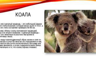 КОАЛА Коала или сумчатый медведь – это небольшой зверек плотного телосложения
