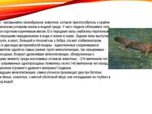 Утконос - чрезвычайно своеобразное животное, которое приспособилось к крайне