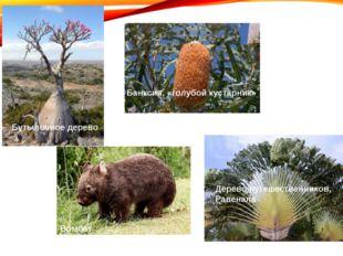 Бутылочное дерево Банксия, «голубой кустарник» Дерево путешественников, Равен