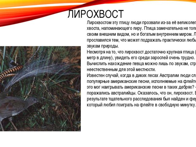 Лирохвостом эту птицу люди прозвали из-за её великолепного хвоста, напоминающ...