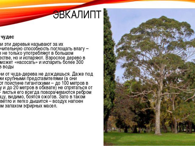 Дерево чудес Насосами эти деревья называют за их исключительную способность п...
