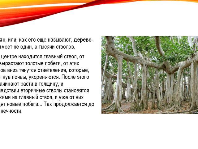 Баньян, или, как его еще называют, дерево-лес, имеет не один, а тысячи стволо...