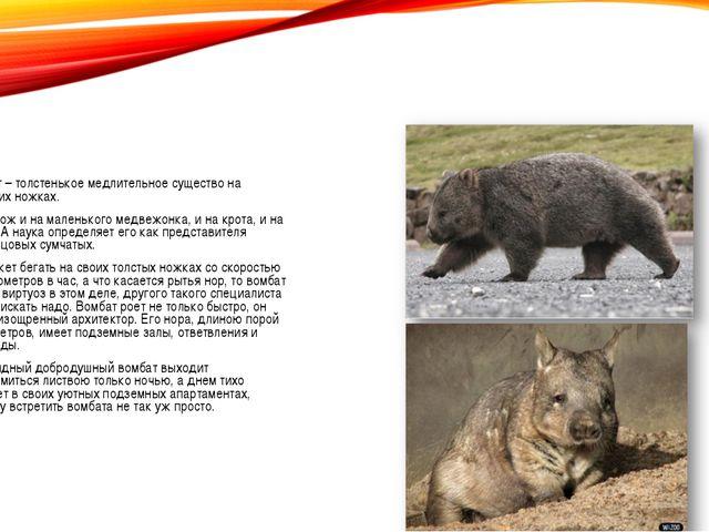 Вомбат – толстенькое медлительное существо на коротких ножках. Он похож и на...