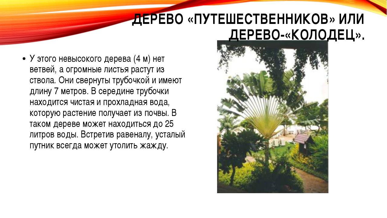 У этого невысокого дерева (4 м) нет ветвей, а огромные листья растут из ствол...