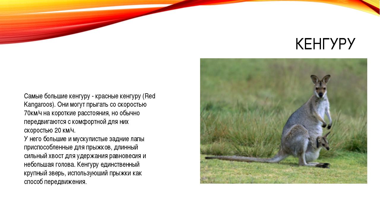 КЕНГУРУ Самые большие кенгуру - красные кенгуру (Red Kangaroos). Они могут пр...