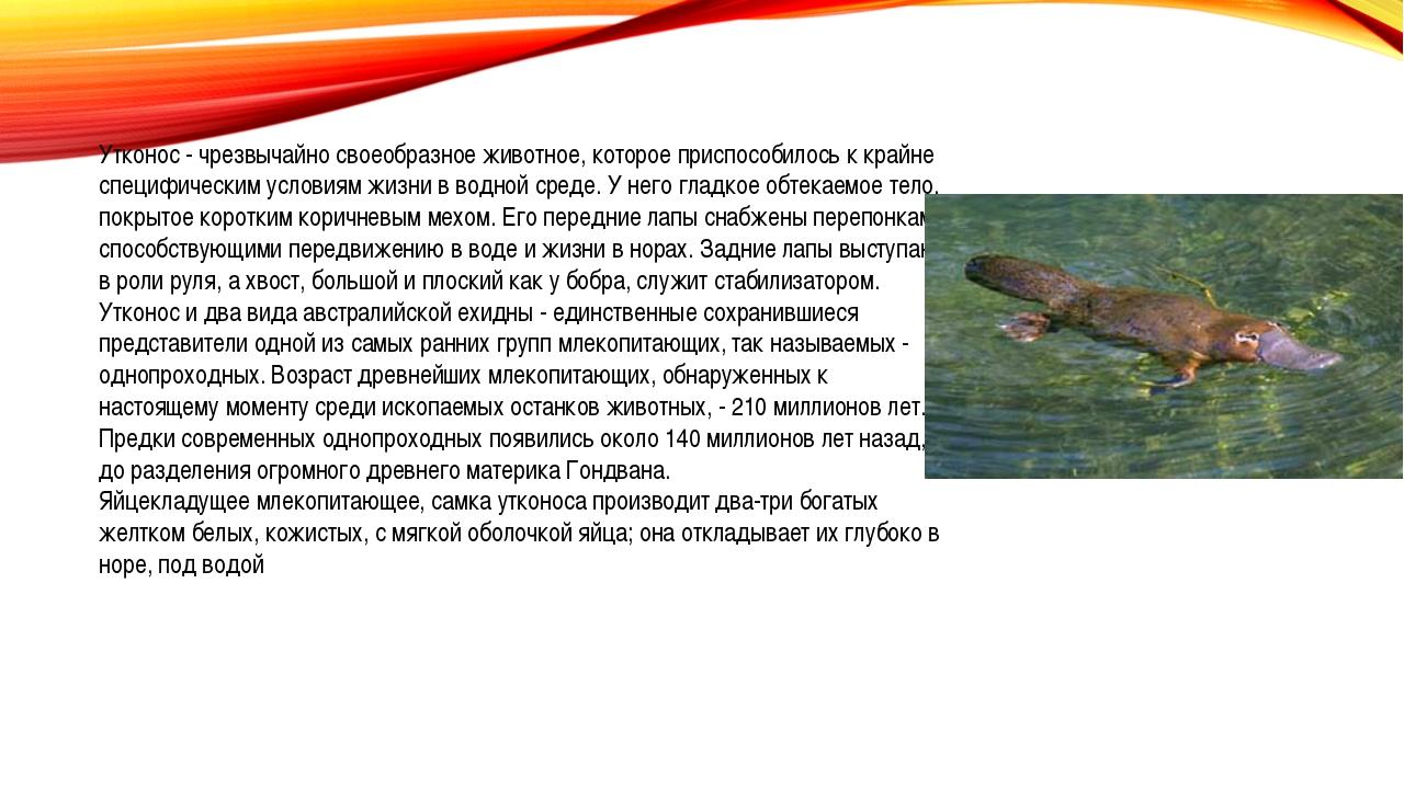 Утконос - чрезвычайно своеобразное животное, которое приспособилось к крайне...