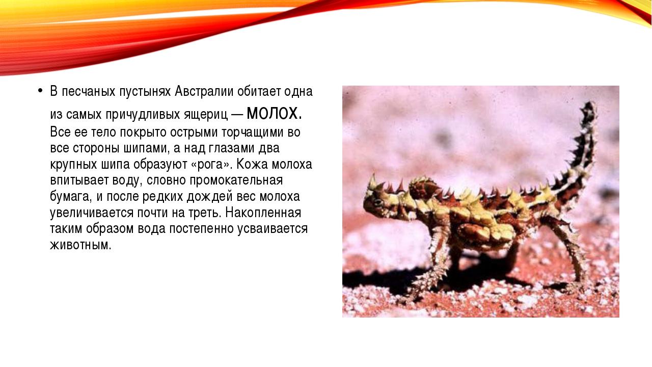 В песчаных пустынях Австралии обитает одна из самых причудливых ящериц — мол...