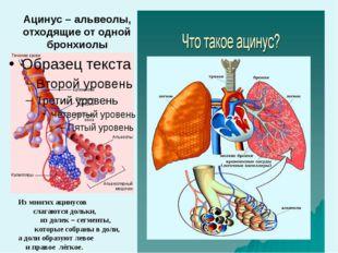 Ацинус – альвеолы, отходящие от одной бронхиолы Из многих ацинусов слагаются