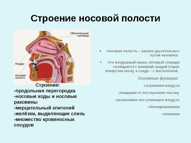 Строение носовой полости Носовая полость – начало дыхательных путей человека....