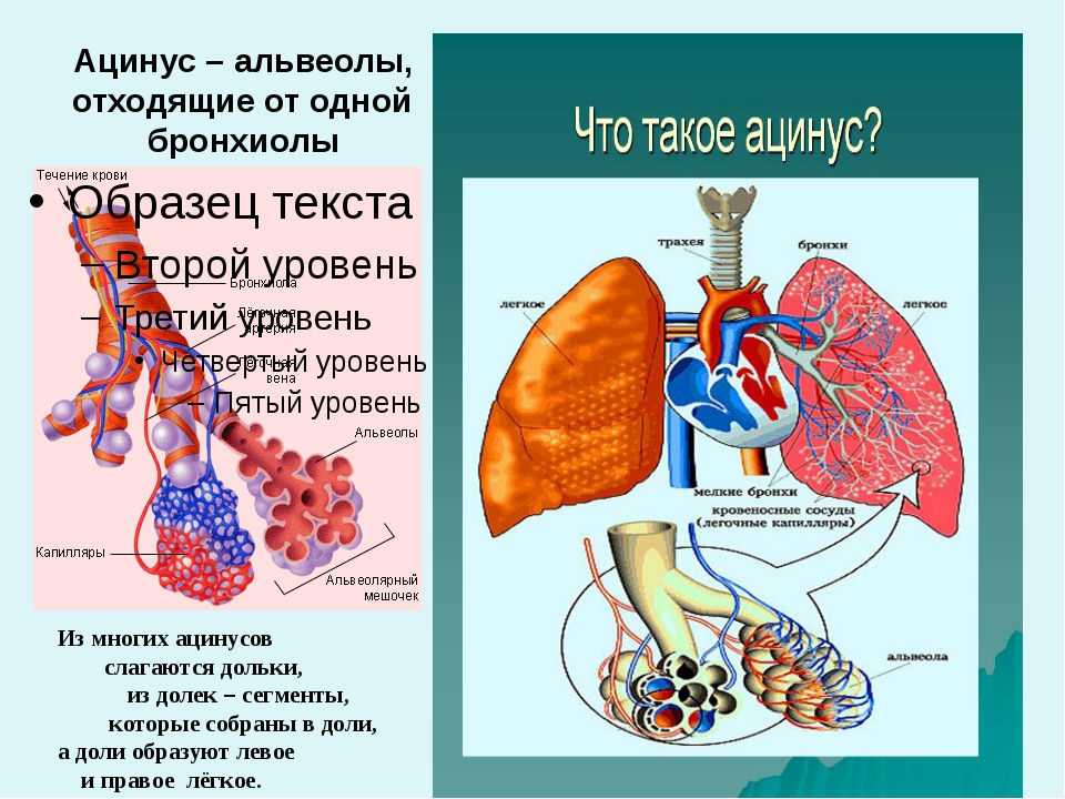 Ацинус – альвеолы, отходящие от одной бронхиолы Из многих ацинусов слагаются...