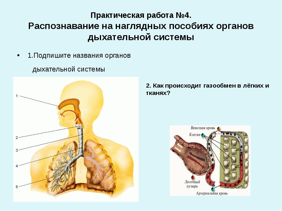 Практическая работа №4. Распознавание на наглядных пособиях органов дыхательн...