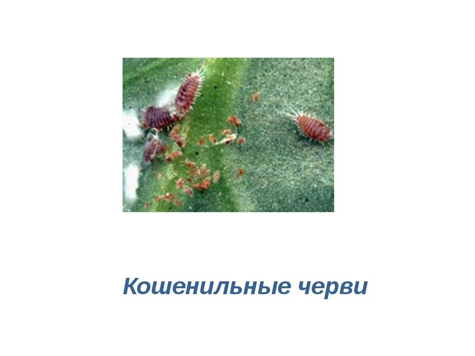 Кошенильные черви