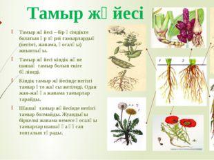 Тамыр жүйесі Тамыр жүйесі – бір өсімдікте болатын әр түрлі тамырлардың (негіз
