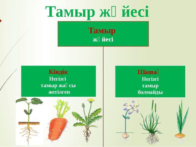 Тамыр жүйесі