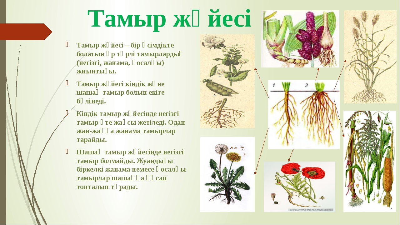 Тамыр жүйесі Тамыр жүйесі – бір өсімдікте болатын әр түрлі тамырлардың (негіз...