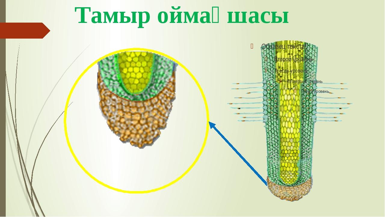 Тамыр оймақшасы