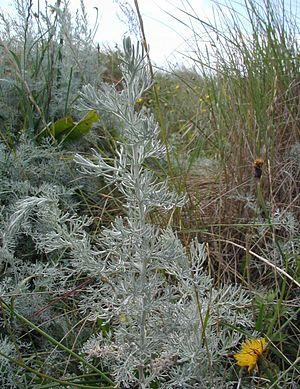http://upload.wikimedia.org/wikipedia/commons/thumb/7/71/Artemisia-maritima.JPG/300px-Artemisia-maritima.JPG