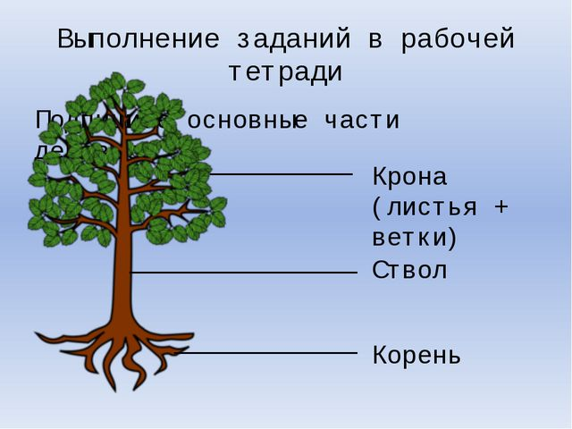 Подпишите основные части деревьев. Выполнение заданий в рабочей тетради Крона...