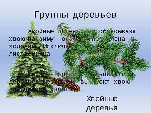 Группы деревьев Хвойные деревья не сбрасывают хвою на зиму: она приспособлена...