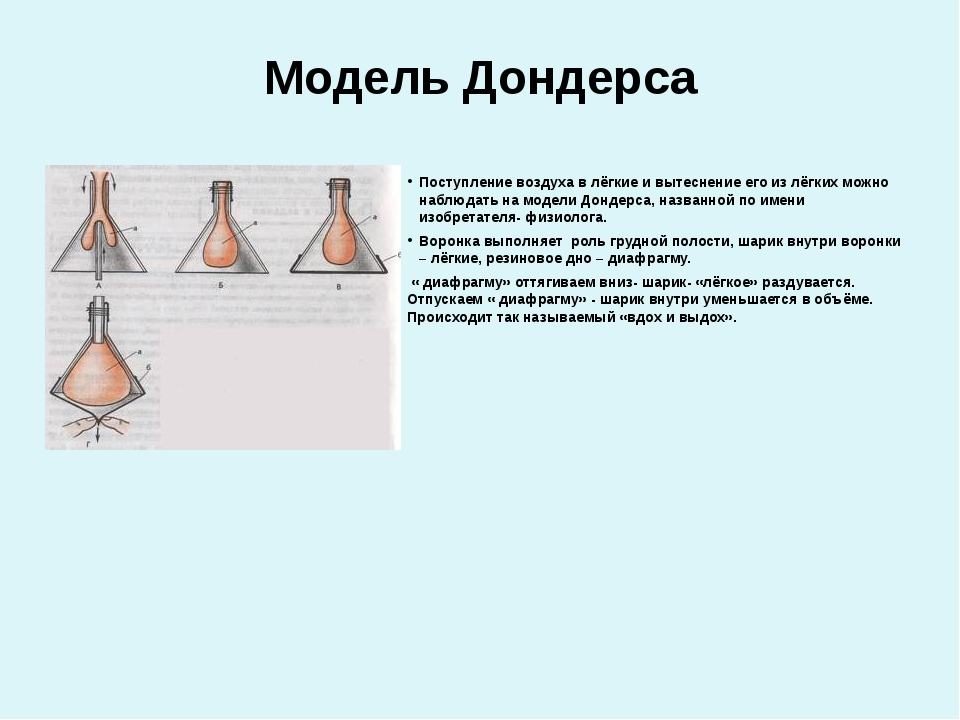 Модель Дондерса Поступление воздуха в лёгкие и вытеснение его из лёгких можно...