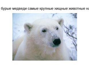 Белые и бурые медведи самые крупные хищные животные на Земле.