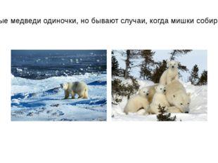 Вообще, белые медведи одиночки, но бывают случаи, когда мишки собираются в ст