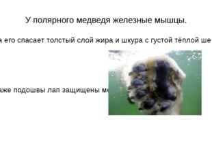 У полярного медведя железные мышцы. .От холода его спасает толстый слой жира
