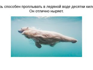 Этот зверь способен проплывать в ледяной воде десятки километров. Он отлично