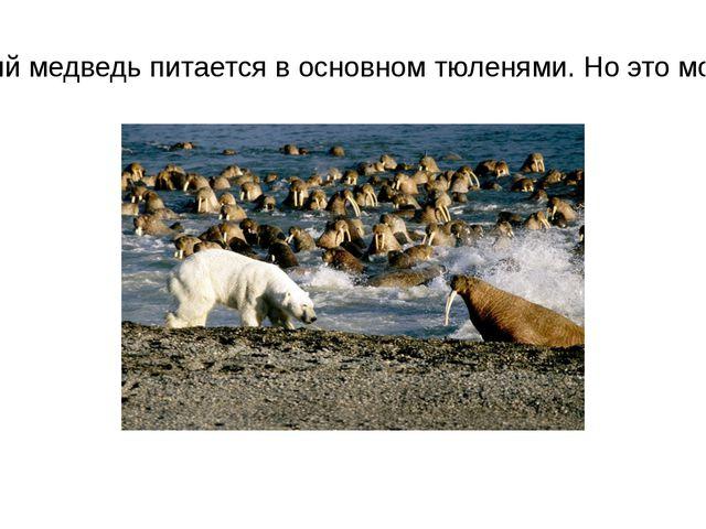 Белый медведь питается в основном тюленями. Но это моржи.