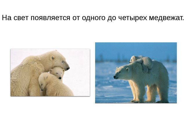 На свет появляется от одного до четырех медвежат.