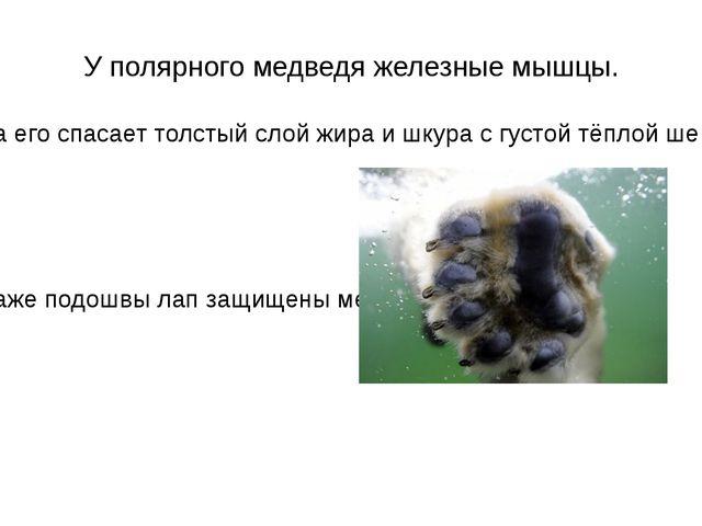 У полярного медведя железные мышцы. .От холода его спасает толстый слой жира...