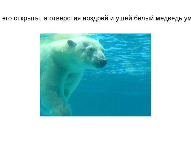 При этом глаза его открыты, а отверстия ноздрей и ушей белый медведь умеет за...