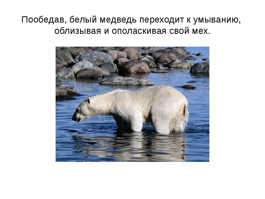 Пообедав, белый медведь переходит к умыванию, облизывая и ополаскивая свой мех.