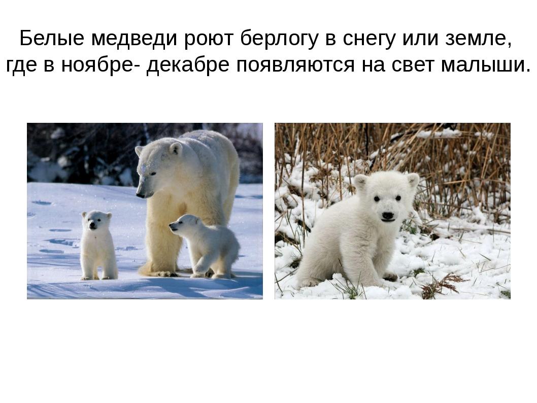 Белые медведи роют берлогу в снегу или земле, где в ноябре- декабре появляютс...
