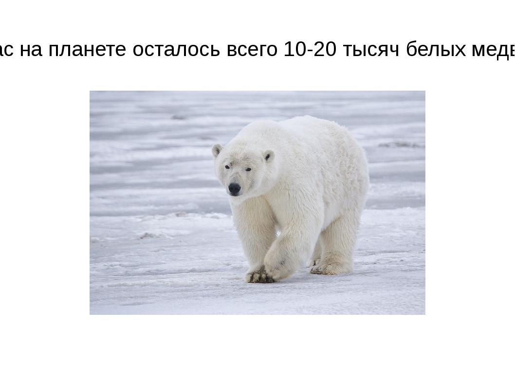 Сейчас на планете осталось всего 10-20 тысяч белых медведей.