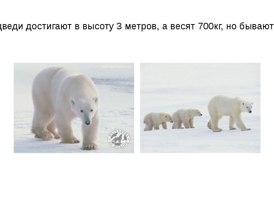 Белые медведи достигают в высоту 3 метров, а весят 700кг, но бывают и больше.