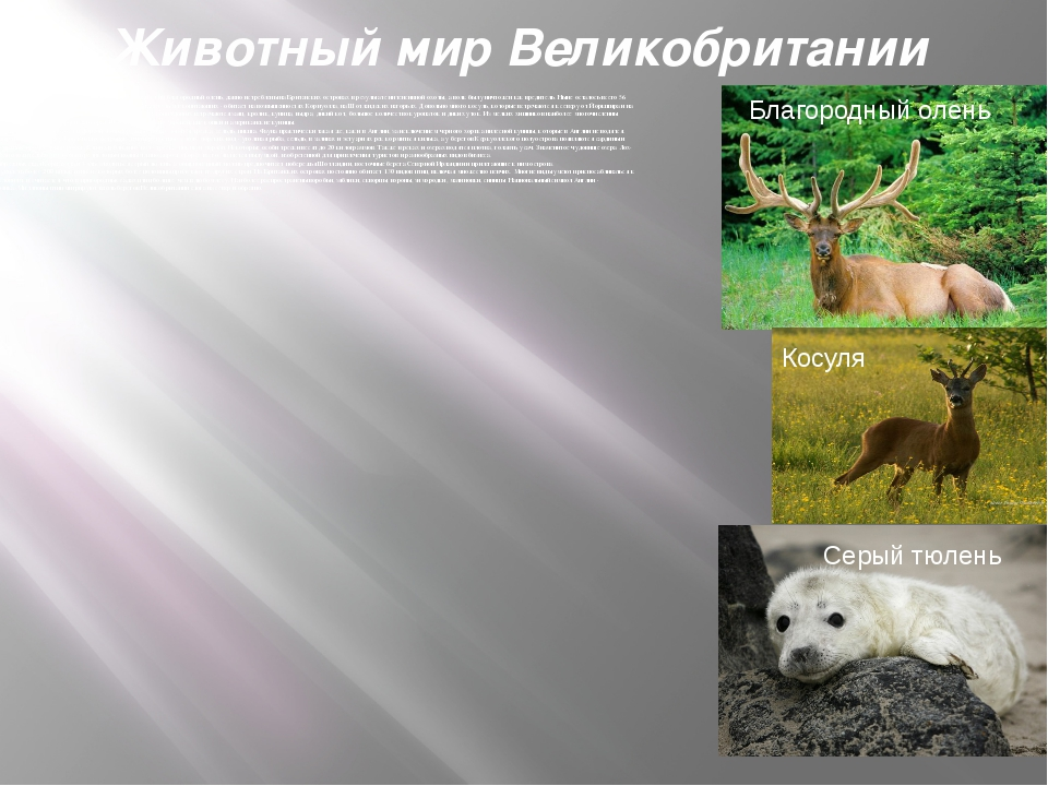 Животный мир Великобритании Многие крупные млекопитающие, такие, как медведь,...