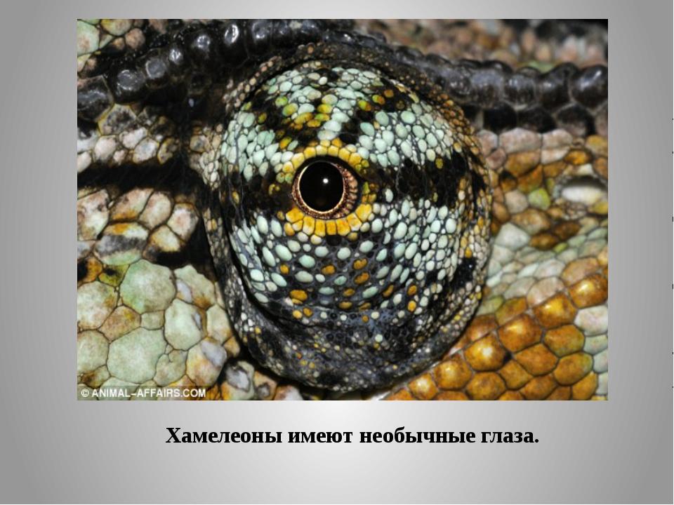Хамелеоны имеют необычные глаза.