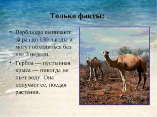 Только факты: Верблюды выпивают за раз до 130 л воды и могут обходиться без н